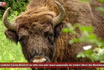 În județul Caraș-Severin se află cea mai mare populație de zimbri liberi din România