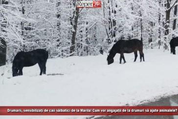 Drumarii, sensibilizați de caii sălbatici de la Marila! Cum vor angajații de la drumuri să ajute animalele?