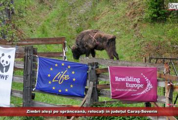 Zimbri aleși pe sprânceană, relocați în județul Caraș-Severin